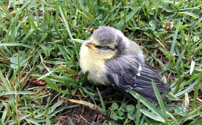 Fågelungar på förskolegården
