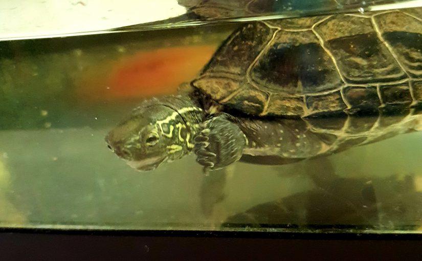 Får vi presentera vattensköldpaddan Skalman!