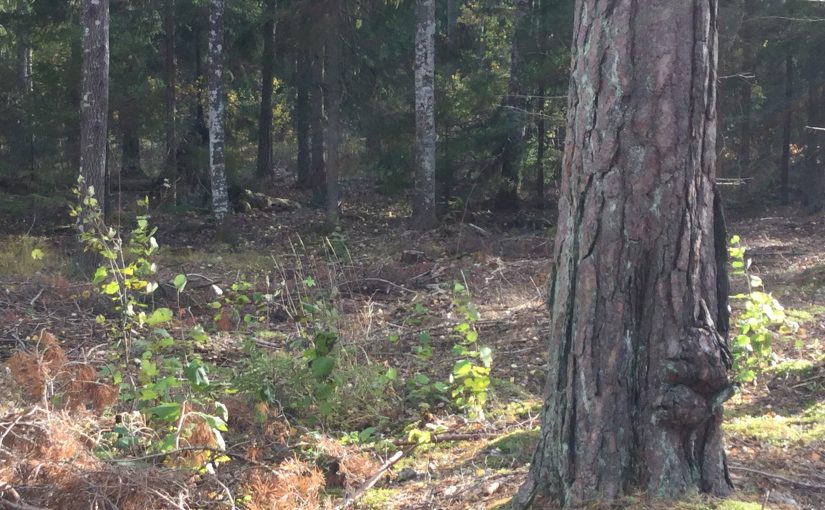 Sirius förmiddag i skogen