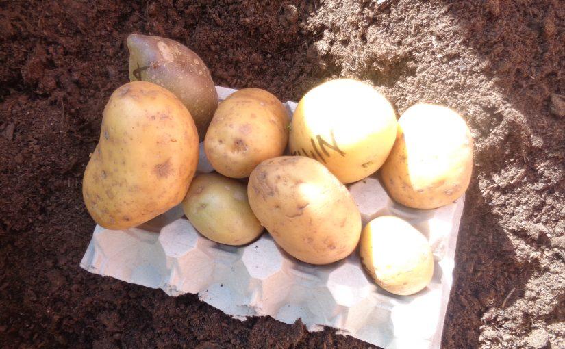 Dags att sätta potatis.