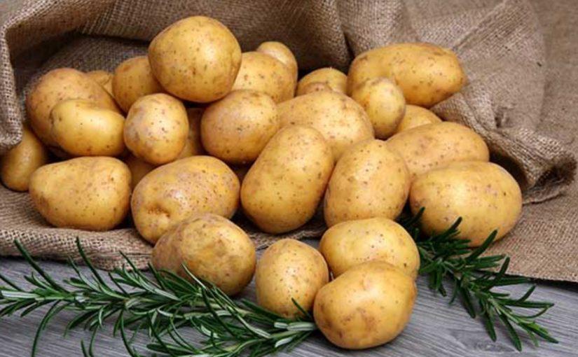 Potatisodling på Sjöhästen